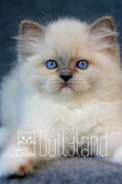 dollyland_Paradise_Shade