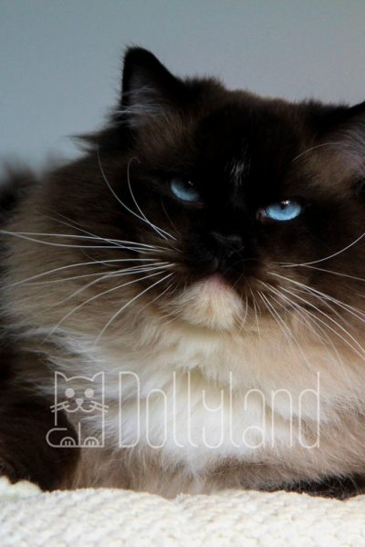 dollyland-ragdolls-diamonddolls-buffalo-bill-13