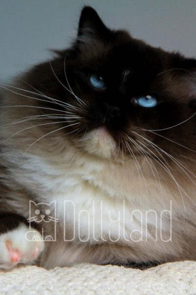 dollyland-ragdolls-diamonddolls-buffalo-bill-14