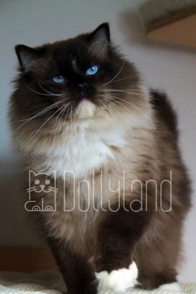 dollyland-ragdolls-diamonddolls-buffalo-bill-2