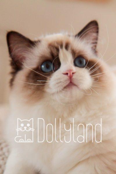 Dollyland_ragdoll_moira_10
